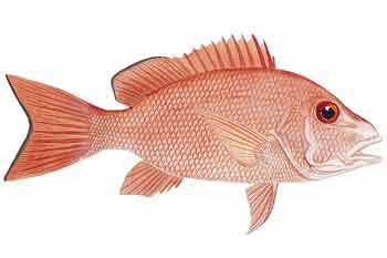 Red Snapper fishing alert!